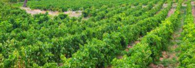 La importancia de la refrigeración en la elaboración de vino